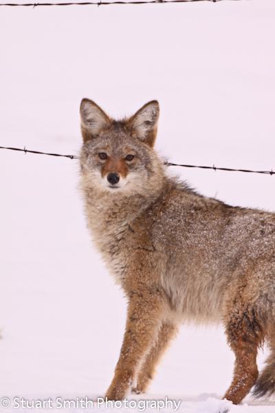 Coyote 3759