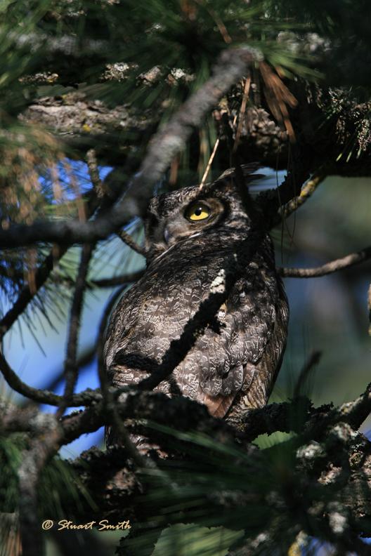 Great Horned Owl 0169