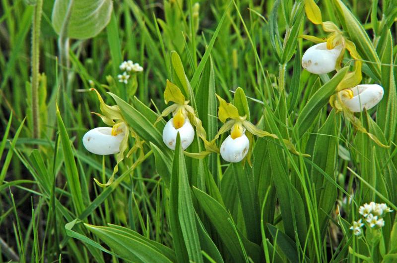 Cypripedium candidum: White Ladys-slipper