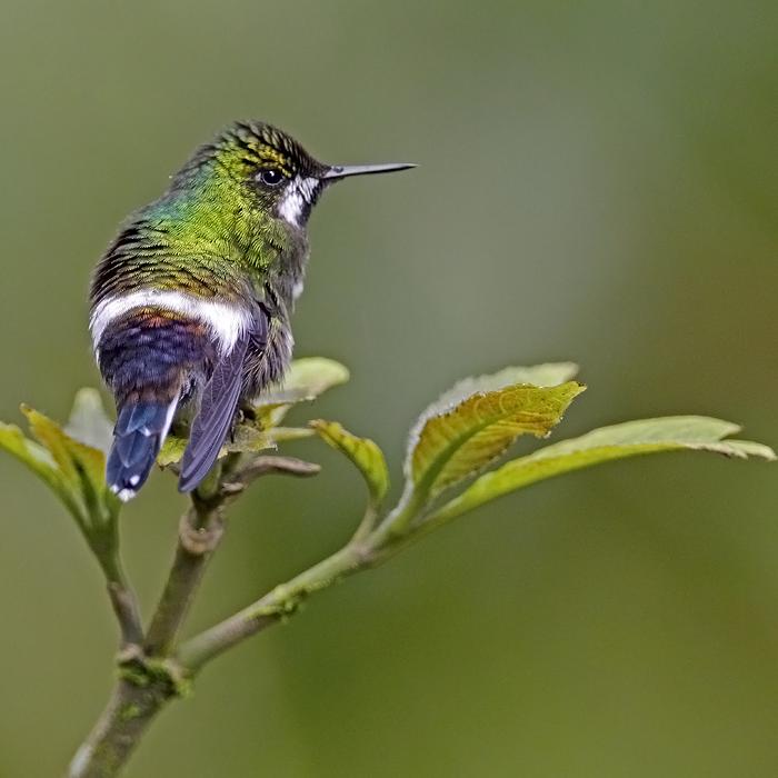 Green Torntail (fem)
