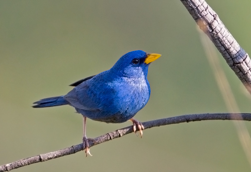 Blue (or yellow billed blue ) finch