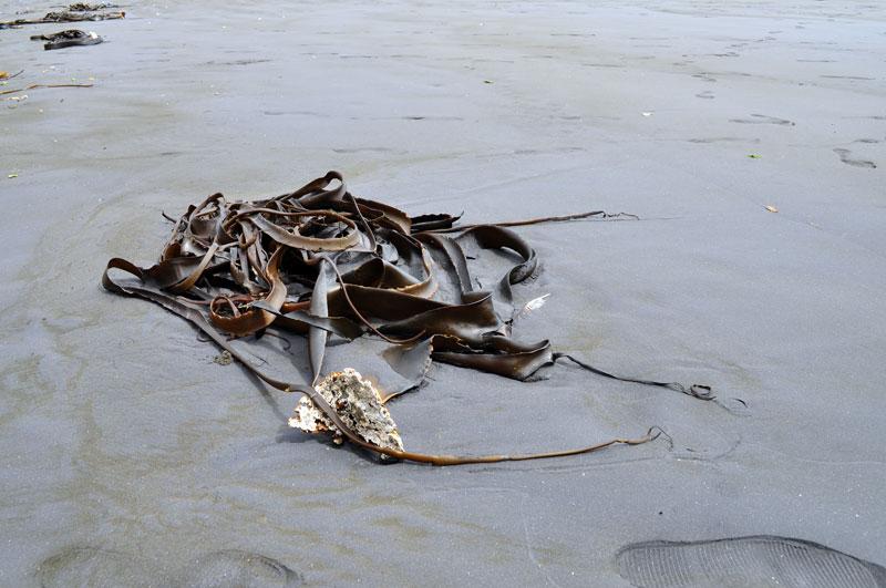 Seaweed on the Sea Shore