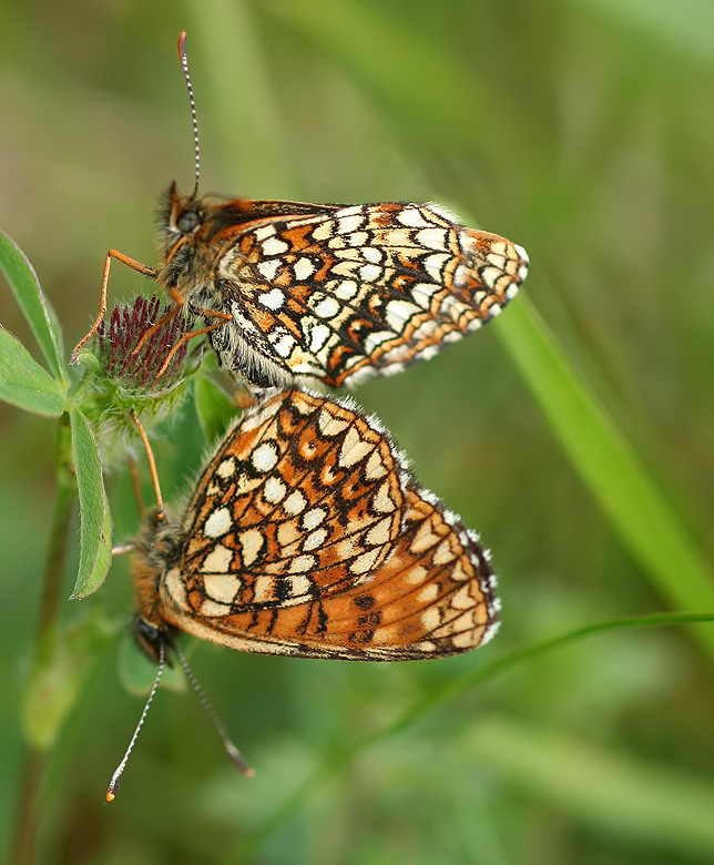 False Heath Fritillary  (Melitaea diamina).jpg