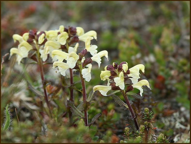 Pedicularis lapponica.jpg
