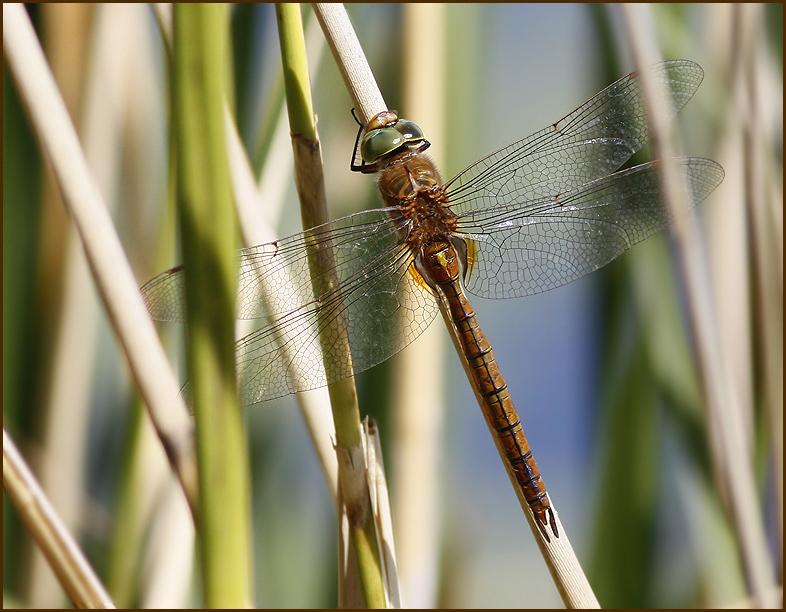 Green-eyed Hawker, Kilfläckslända   (Aeshna isoceles).jpg