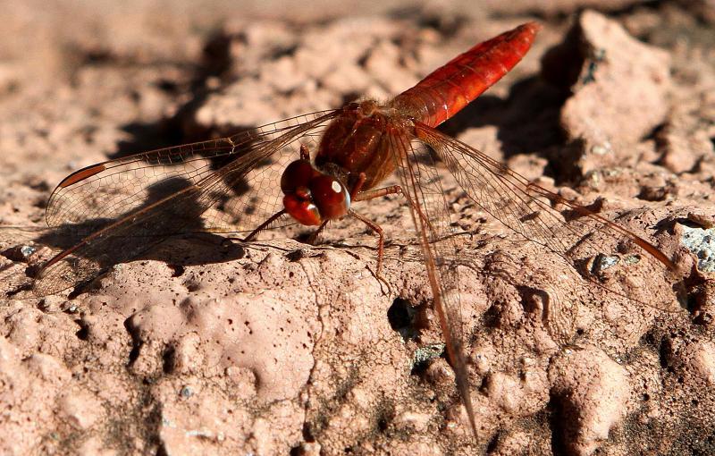 dragonfly, Jardin Canario.jpg