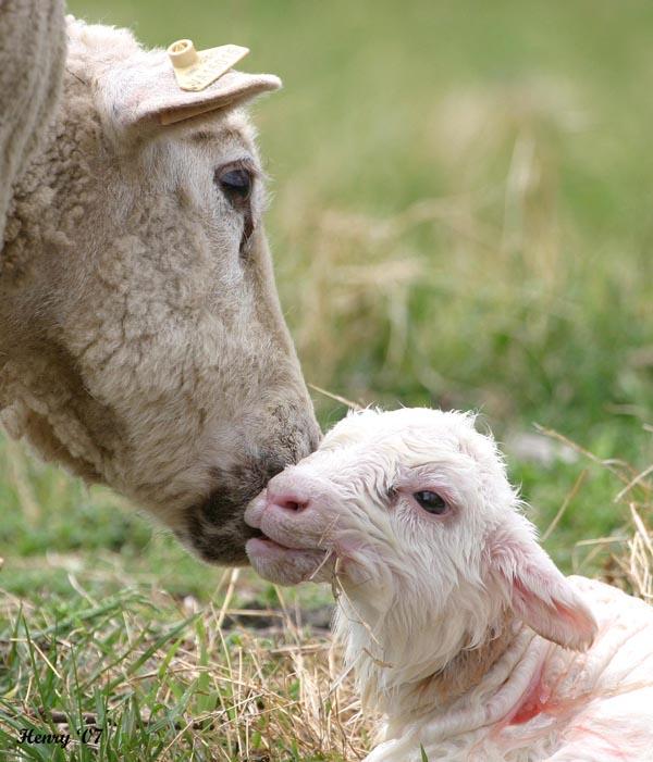 newborn lamb 4/07