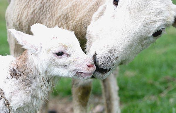 newborn lamb 2 4/07