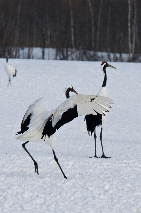 Hokkaido 北海� - 阿寒国際ツルセンター Akan International Crane Center - Red-crowned Crane (Grus japonensis)