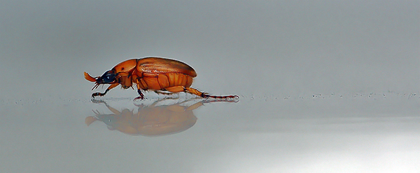 Just a June Bug