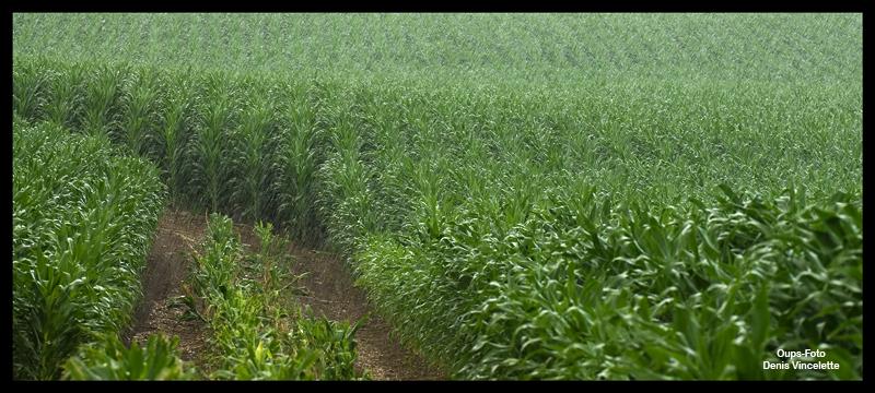 Rain on Corn