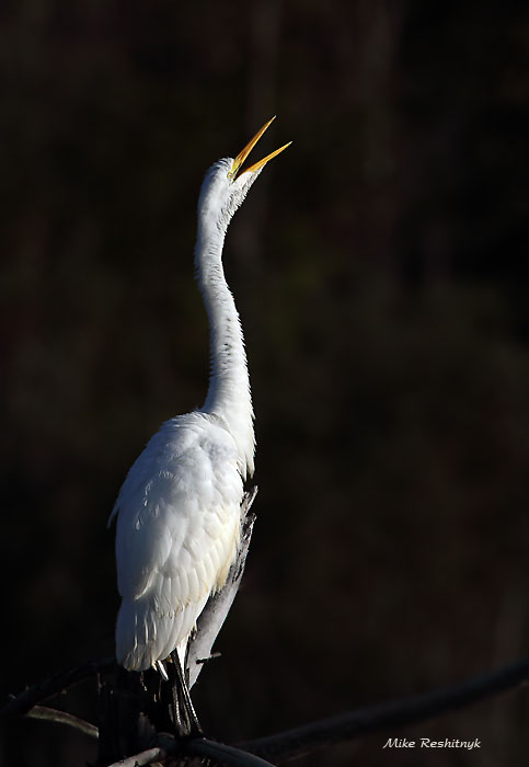 Can Anyone Hear Me?  Great Egret