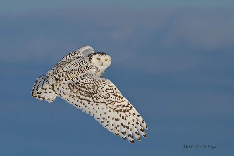 Last Quick Look - Snowy Owl