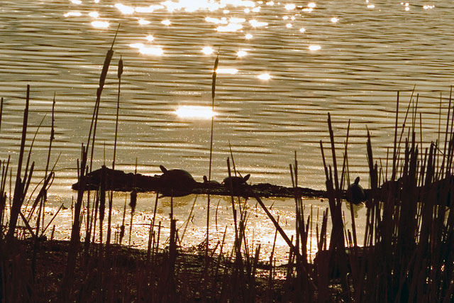 Turtles in the Evening Sun