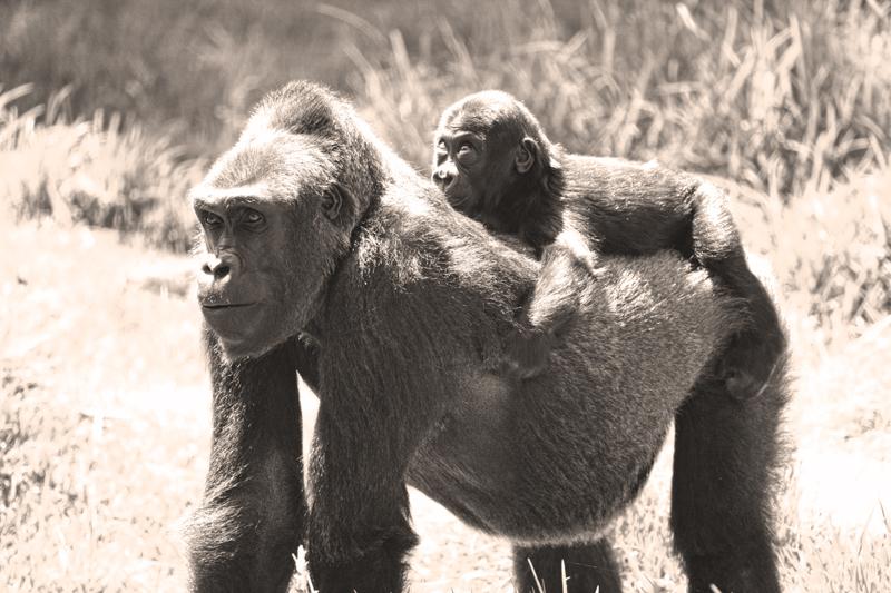 gorillababysepiaI800I.jpg