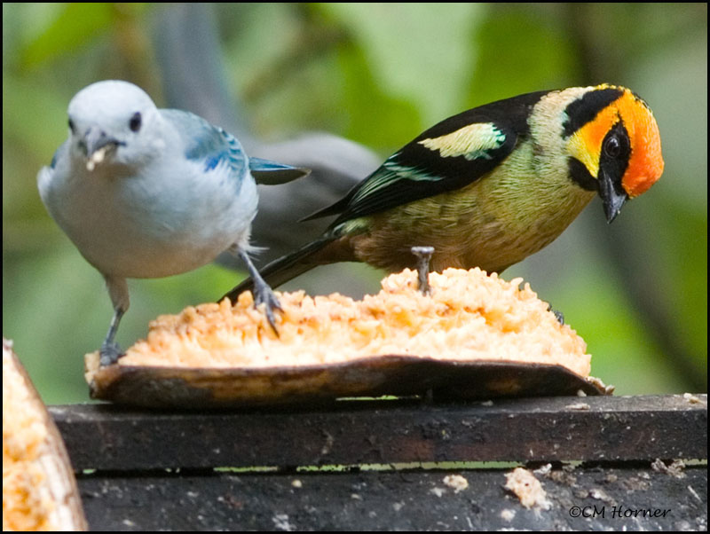 8994 Blue-gray Tanager and Flame-faced Tanager