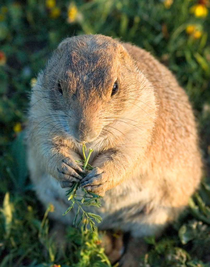 Prairie dog feeding _DSC1398