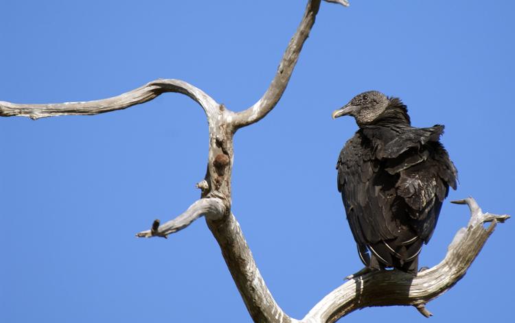 Day 35 April 23  Black Vulture   _8068.jpg