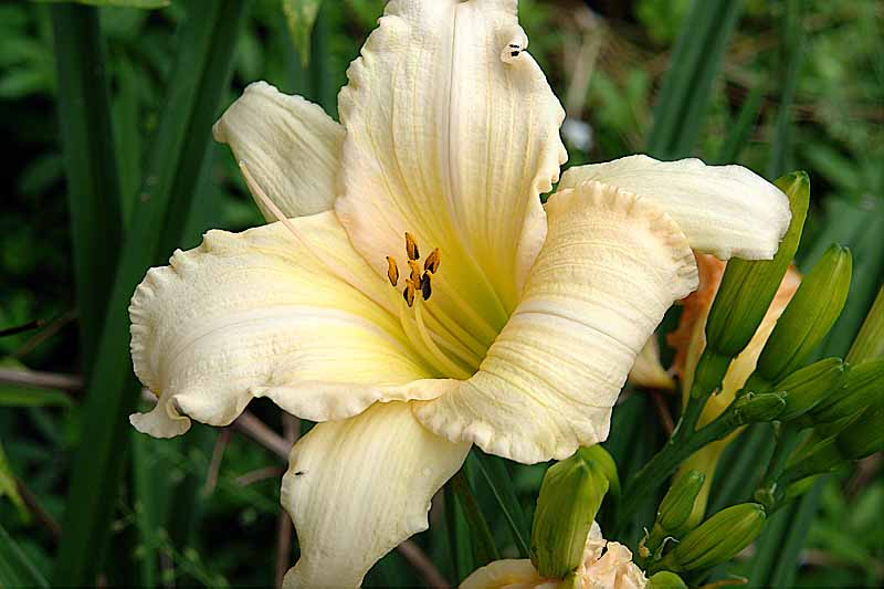 Fringed Day Lilly<br>R1