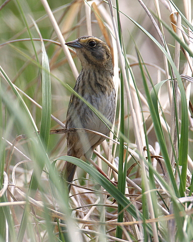 Nelsons Sharp-tailed Sparrow