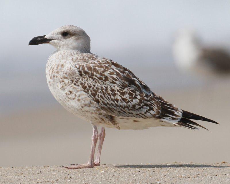 Grat Black-backed Gull