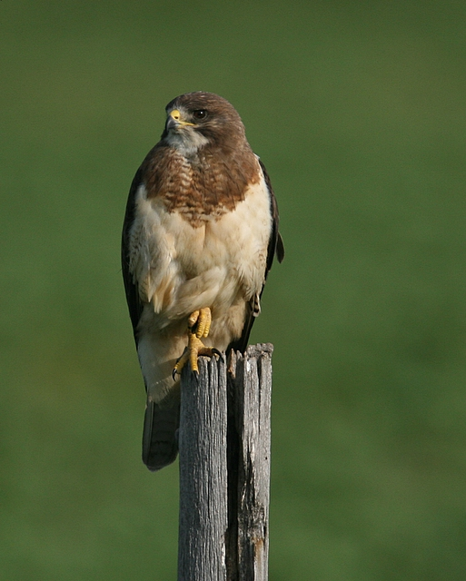 Swainsons Hawk