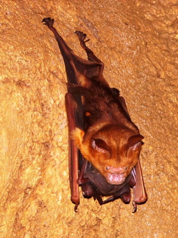 Mother Bat With Baby Bat In Arms