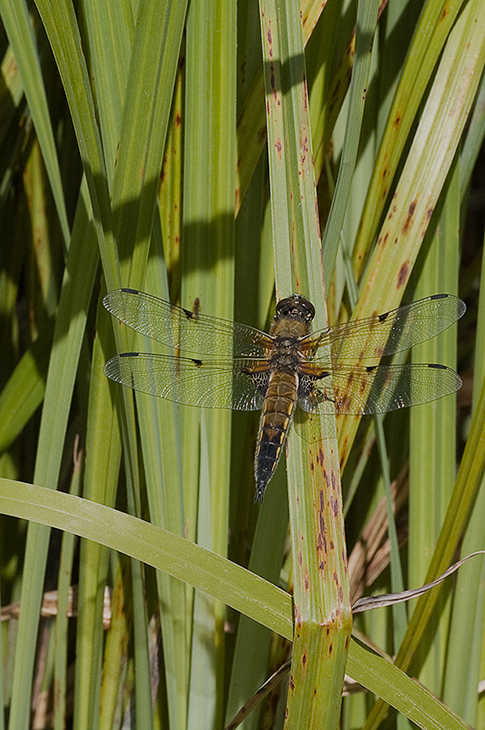 Four-spotted Chaser / Fireplettet libel