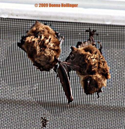 2 bats sleeping on a door screen