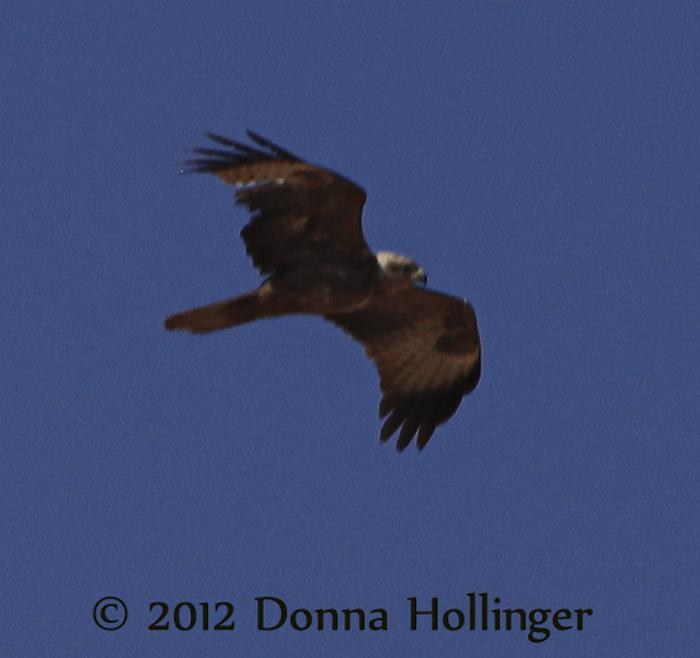 600.steppe.eagle.6209.jpg