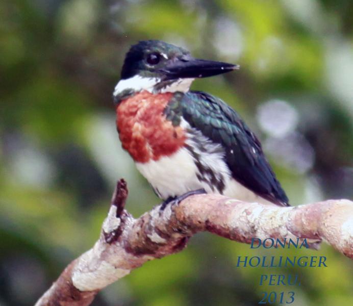Amazonian Kingfisher