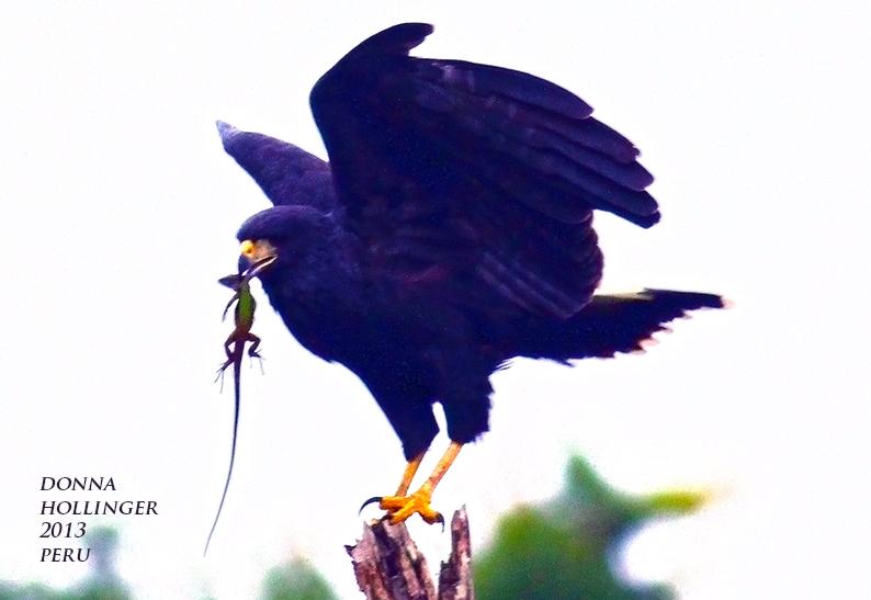 Zone Tailed Hawk Dance!
