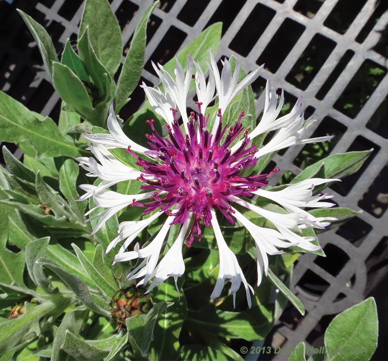 True Value Centaurea