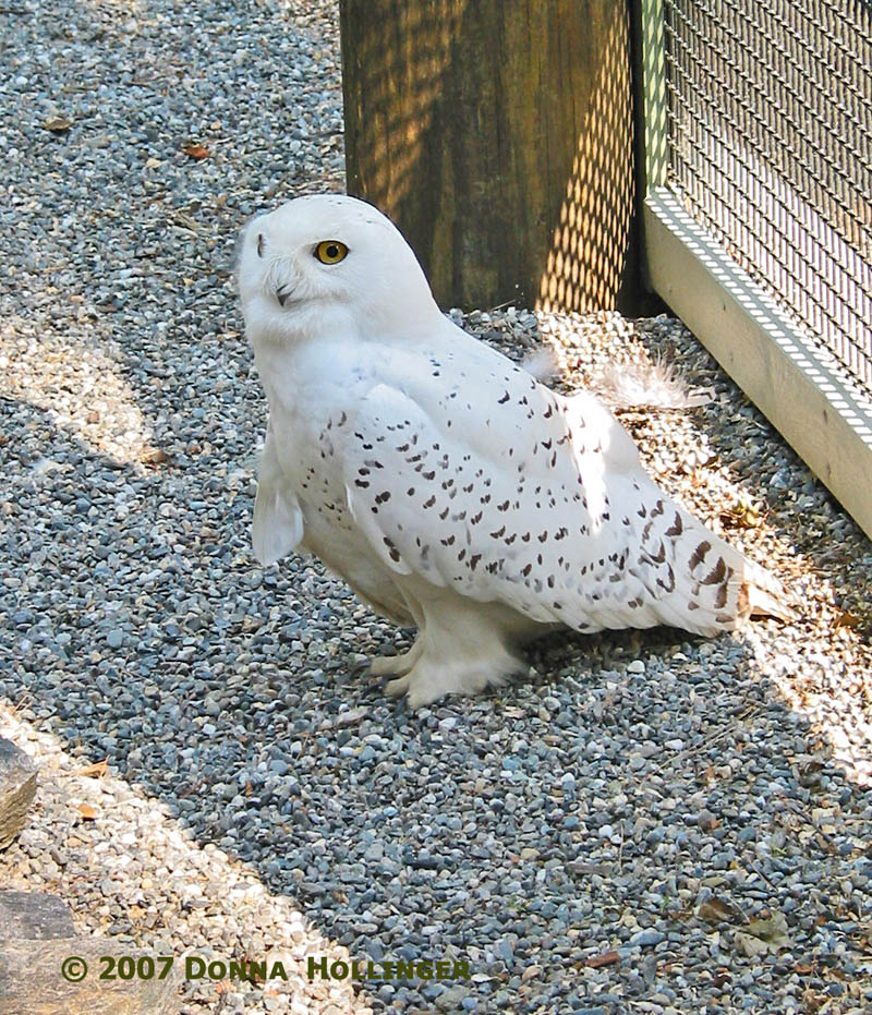 Closer look at a Snowy Owl