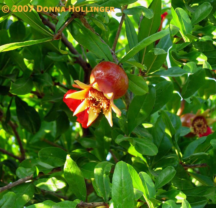 Pomagranate ripening