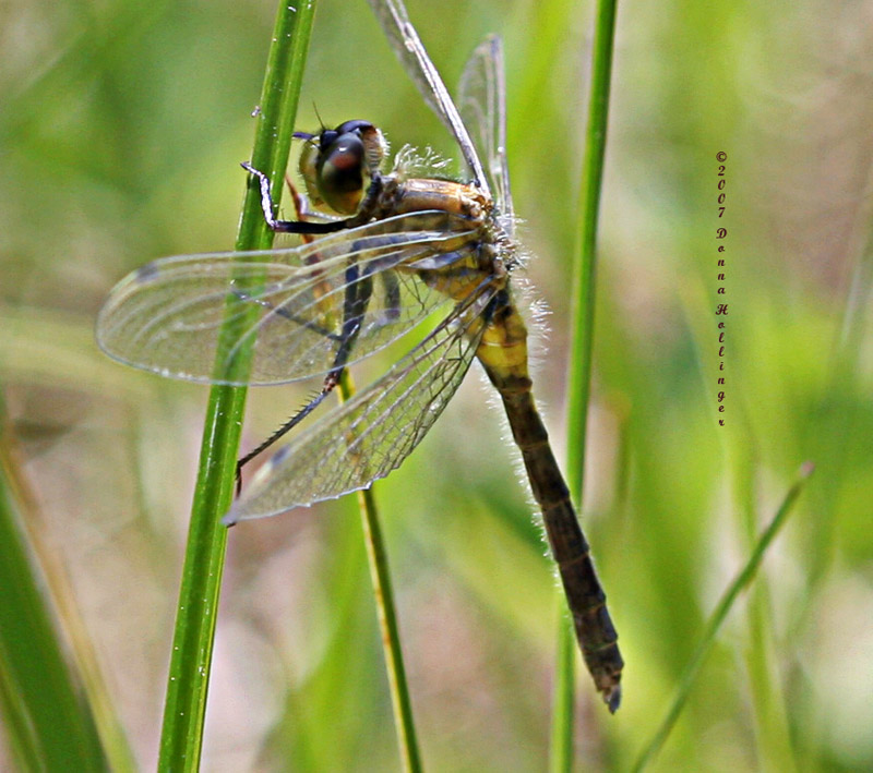 Eastern Ringtail Dragonfly?