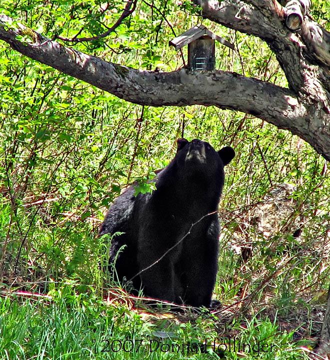 Tantalizing Bear Food