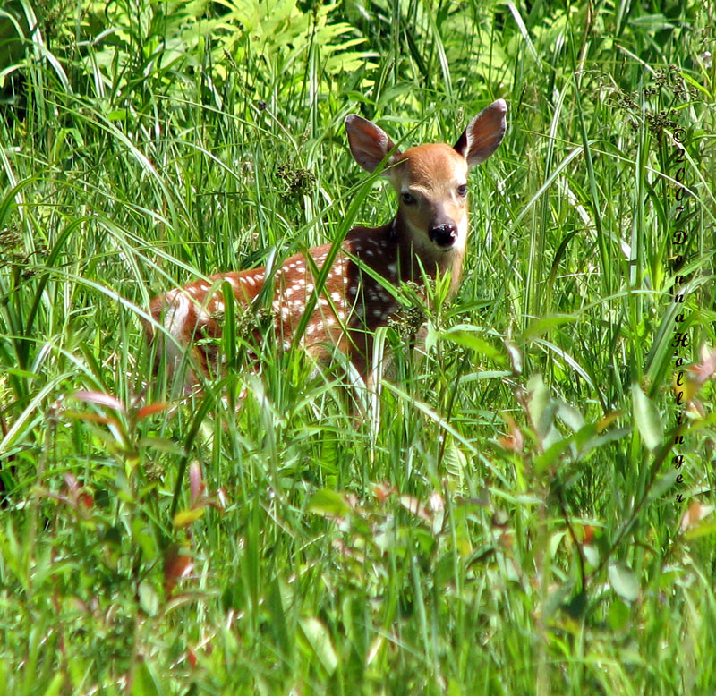 Fawn near our pond