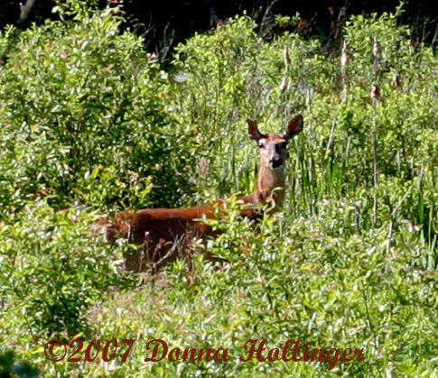 The Doe returns to meadow