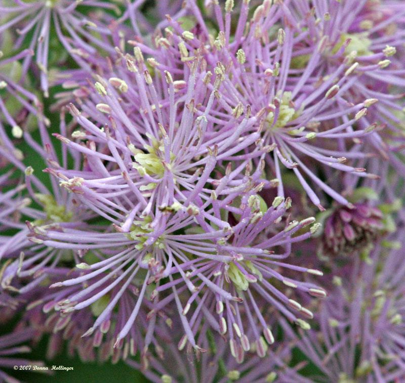 Meadow Rue Flowers