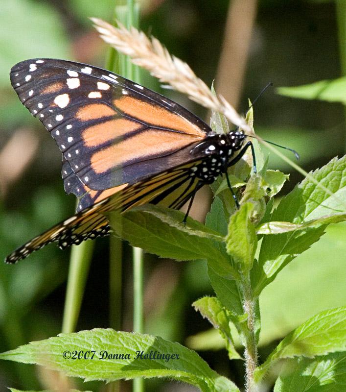 Fleeting Monarch