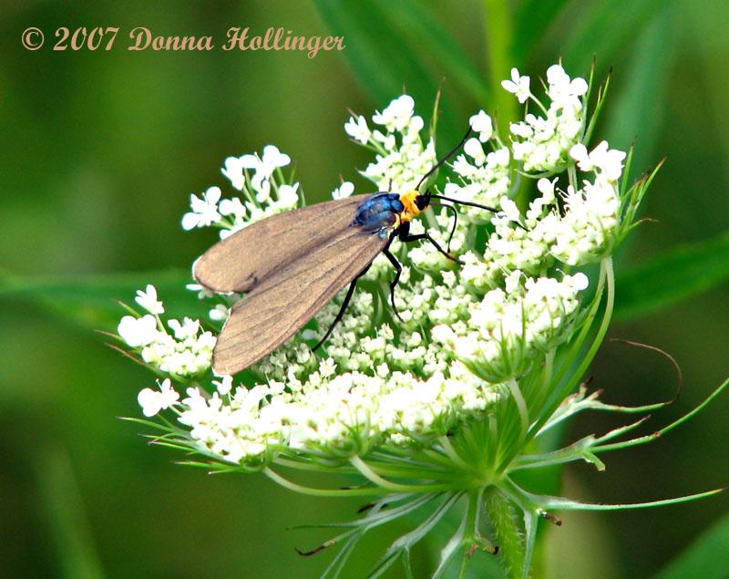 Ctenucha Virginia Moth
