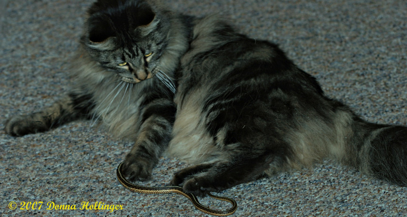 Mica the kitty with a garter snake