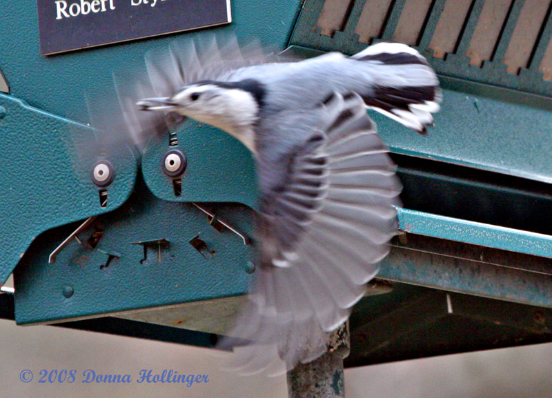 Nuthatch FLyig with Seed