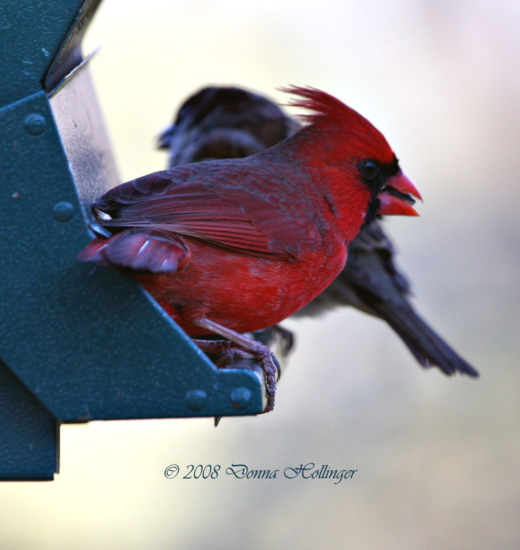Male Cardinal on the feeder