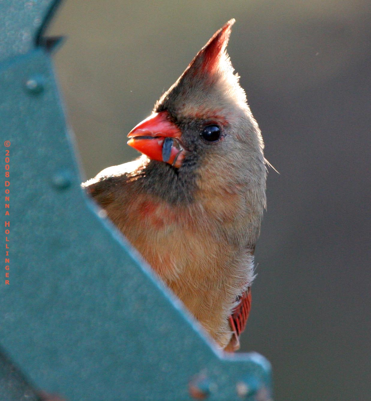 Female Cardinal Profile