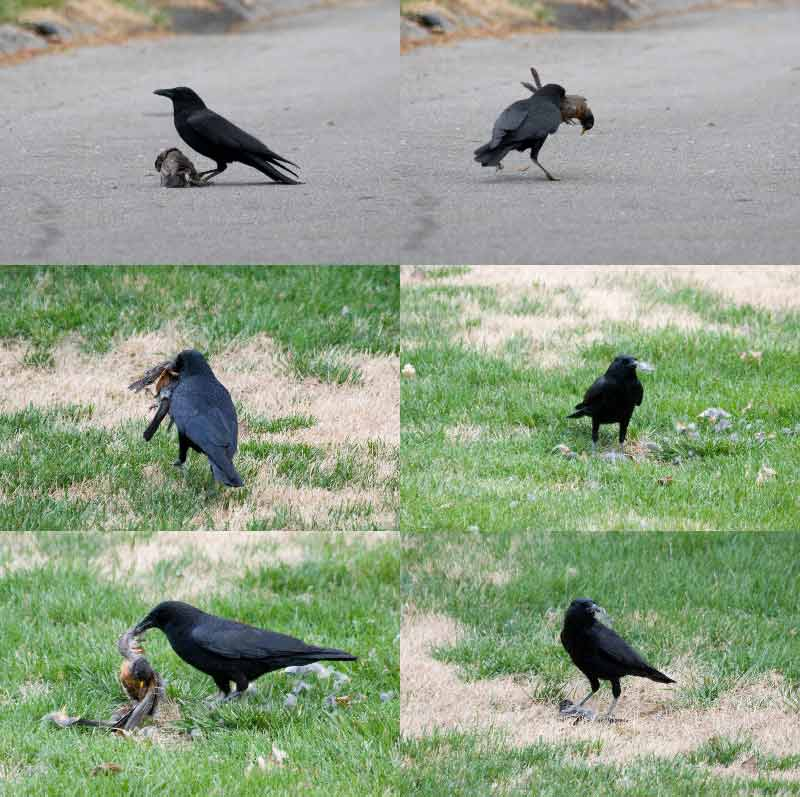 Crow Kills Robin