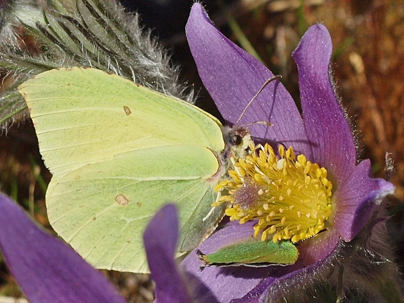 Citronfjäril och grönsvabbvinge - Brimstone and green hairstreak