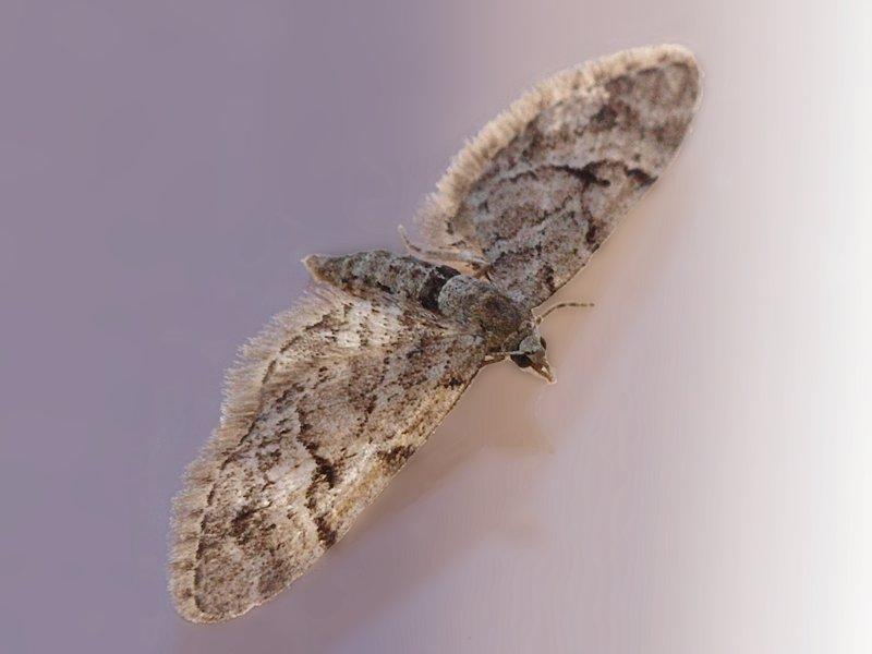 Lansettvingad malmätare - Eupithecia lanceata