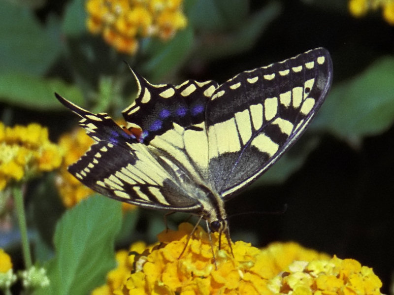 Makaonfjäril - Papilio machaon - Swallowtail